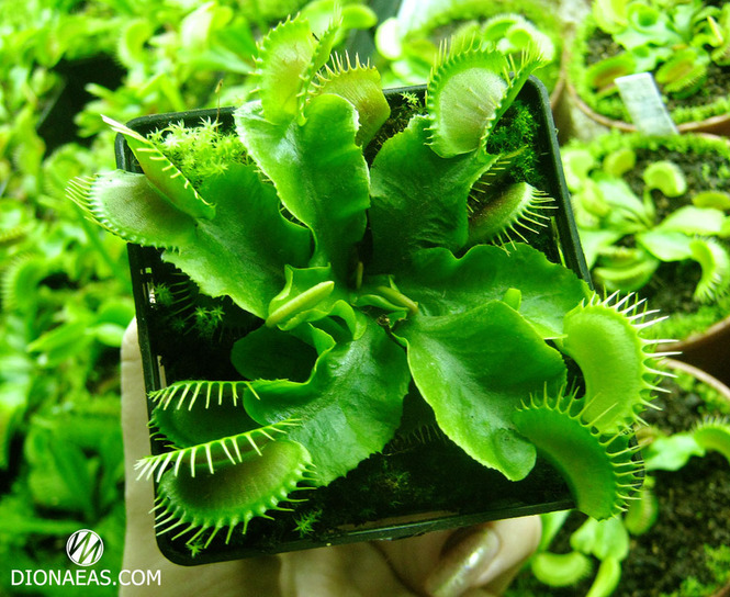 "Dionaea muscipula ""Typical form"""
